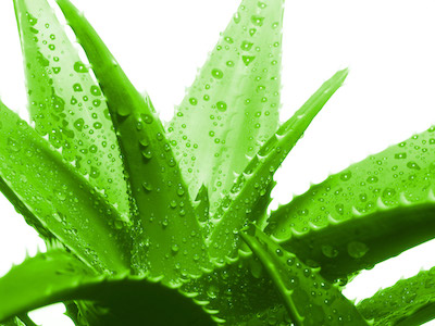 Aloe Vera – a miracle from nature