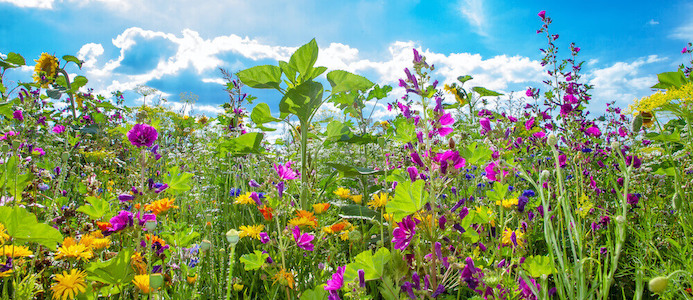 The Horse balsam herbs